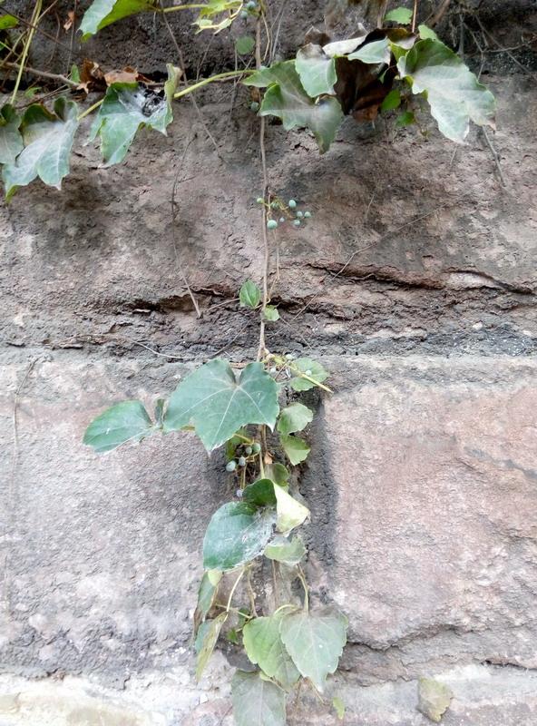 不常见的爬山虎果实