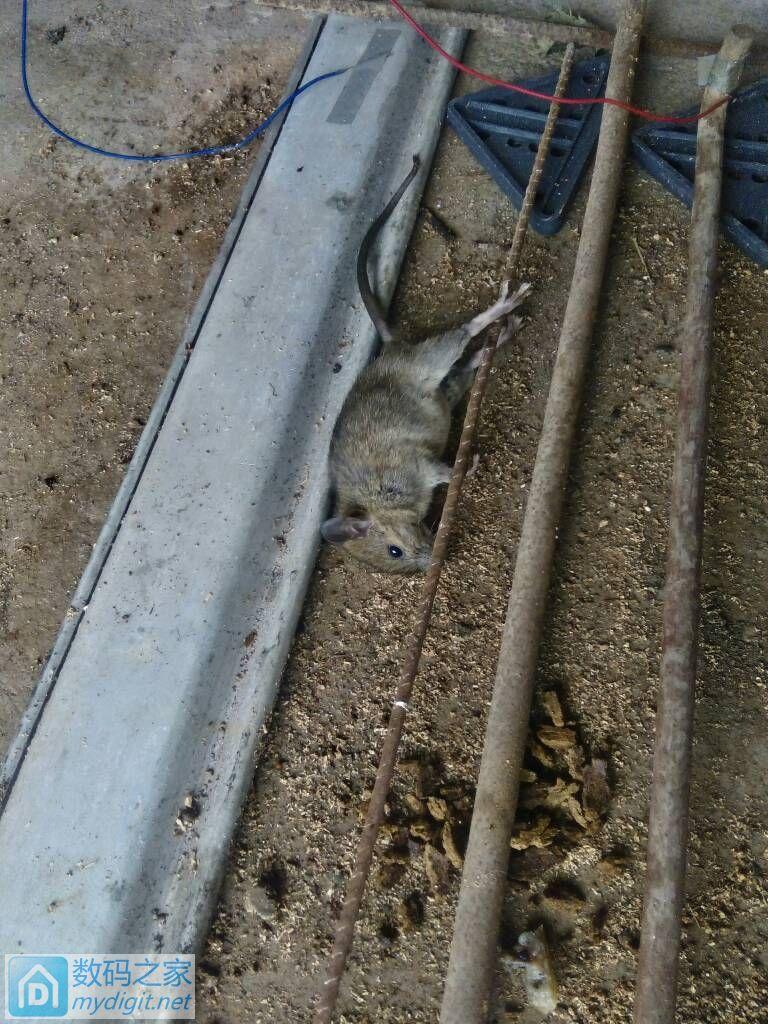 捕鼠器电死一只老鼠。