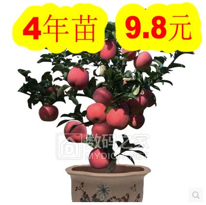 4年苹果盆栽9.8元!45