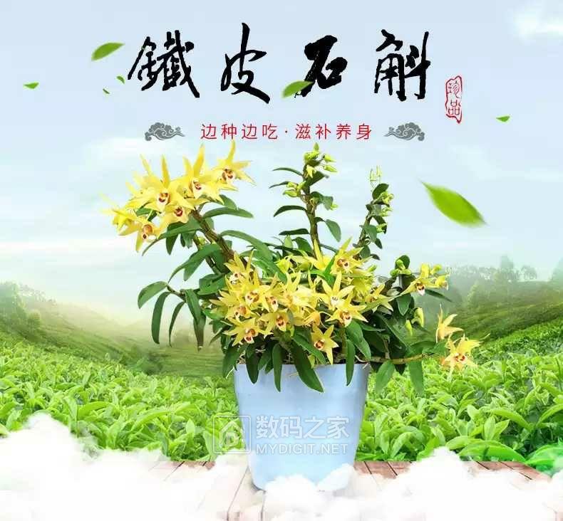 铁皮石斛苗盆栽9.8元包