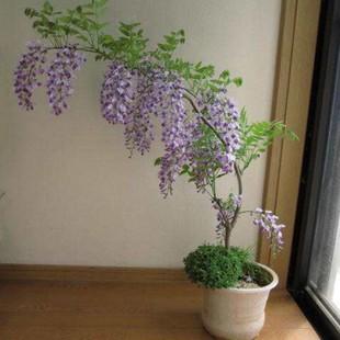 紫藤庭院盆栽