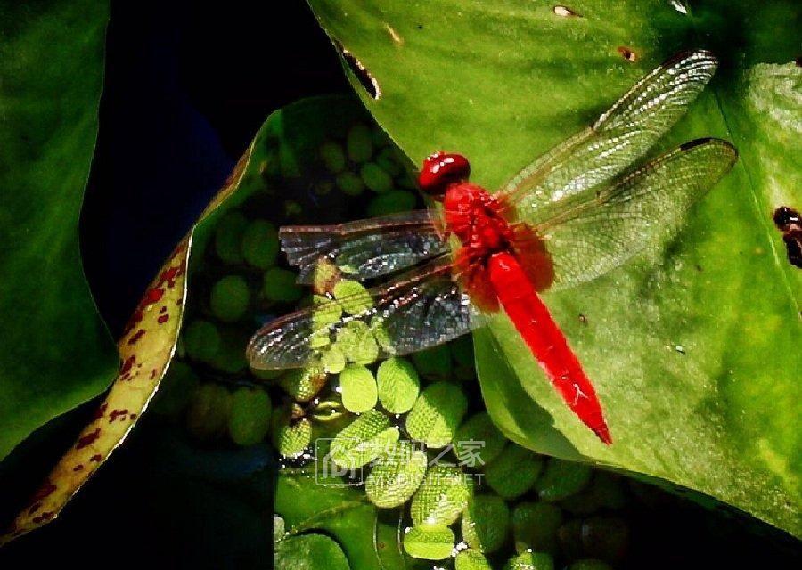 为寻红蜻蜓