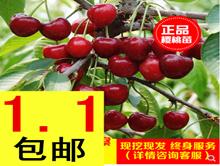 美国樱桃树苗1.1!防飞