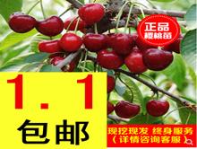 美国樱桃树苗1.1!多一